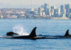 A leading theory is the whales are starving because they cannot find enough Chinook salmon, the endangered fish that the resident orcas eat almost exclusively.