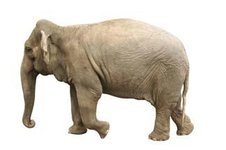Information Card: Why am I musical? IVORY Ivory is a hard, white, opaque substance that comes from the teeth and tusks of animals such as the elephant, hippopotamus, walrus, mammoth and narwhal.