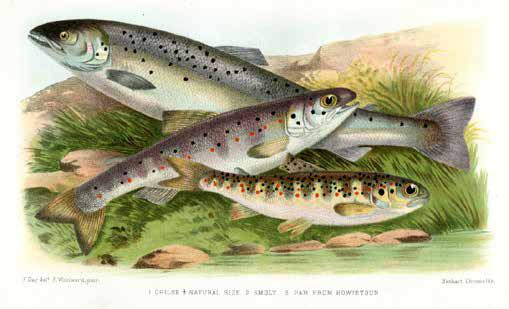71. DAY, Francis. British and Irish Salmonidae. Illustrated with nine colour and three mono plates, and with numerous other illustrations. London: Williams, 1887. pp. viii, 300, 12 (plates).