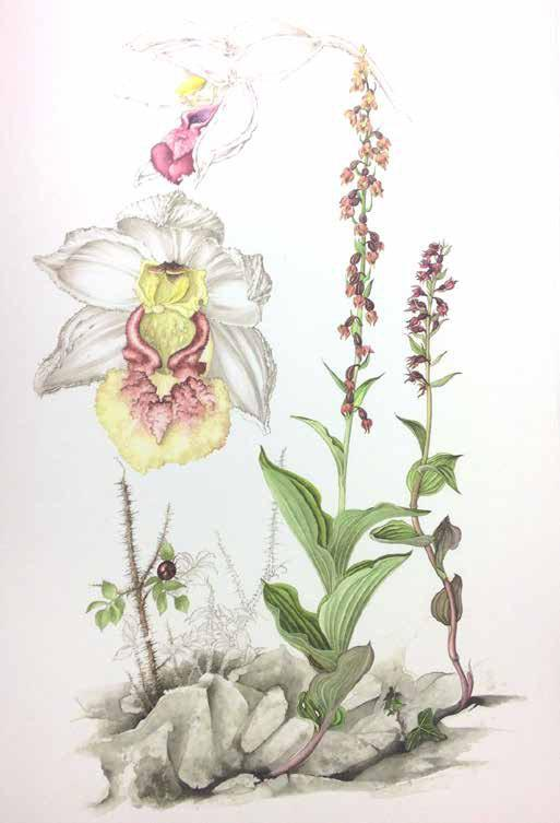 time many hours have been spent searching for orchids in an attempt to make a permanent record of the Irish orchid flora at the beginning of the present century Orchids are alluring, mystifying and
