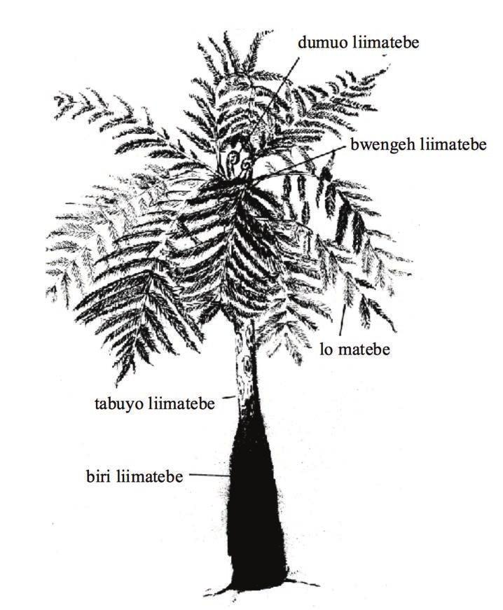liimatebeh n. blakpam. tree fern. Frequently found in Ambrym, used for distinctive carvings. Cyathea spp., Dickinsonia spp liimelat n. wan kaen tri.